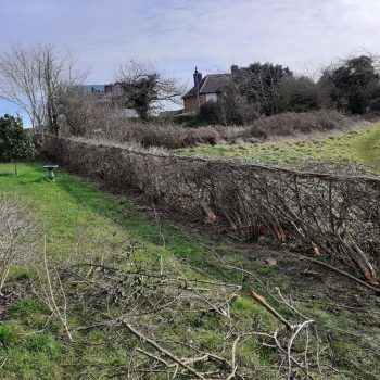After hedge laying